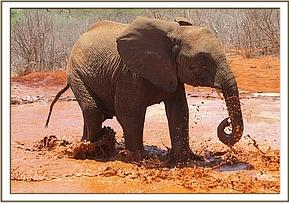 Mzima, enjoying a mud-bath!