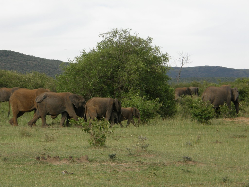 Elephants: right where they should be! Taken in Masai Mara, Kenya.