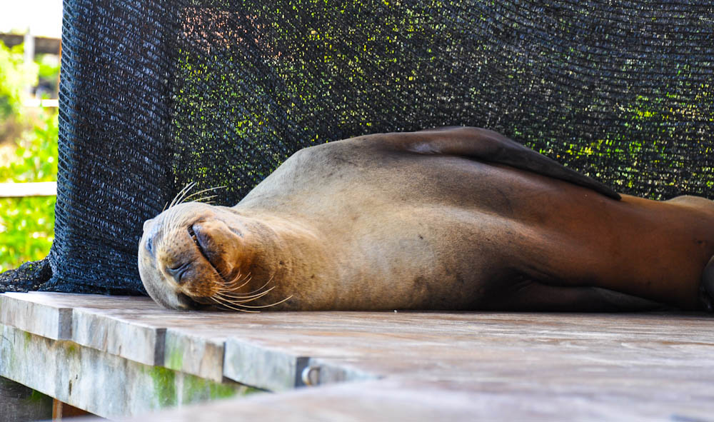 Sea lion napping in the porch.