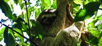 Fluffy Costa Rican sloth