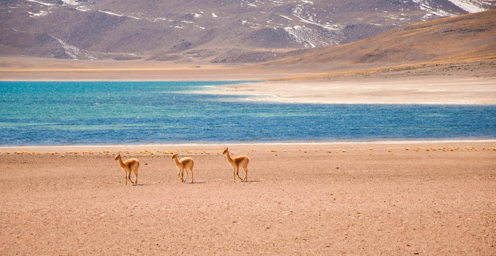 Vicunas enjoying their beautiful home