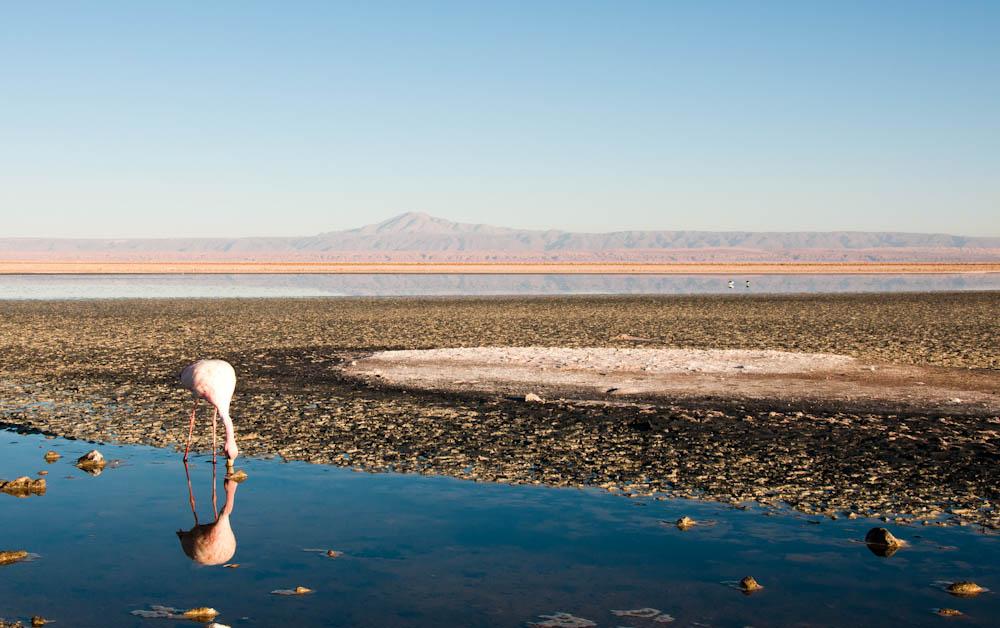 A flamingo feeding on salty prawns at Chaxa Lagoon