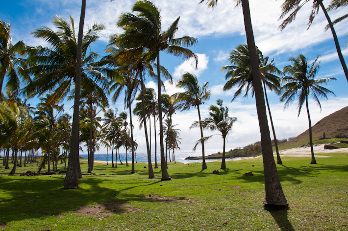 Palm trees at paradise like Anakena Beach in Easter Island, Chile