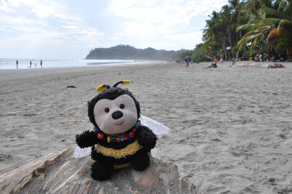 Bee enjoying the good life at Playa Samara, Costa Rica