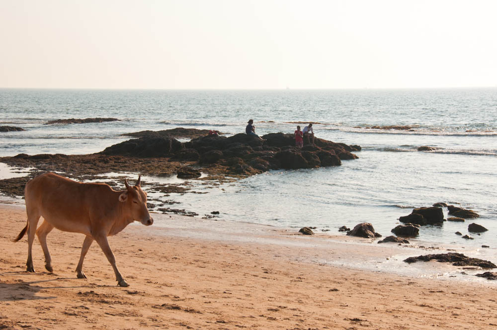 Cow chilling at Anjuna beach