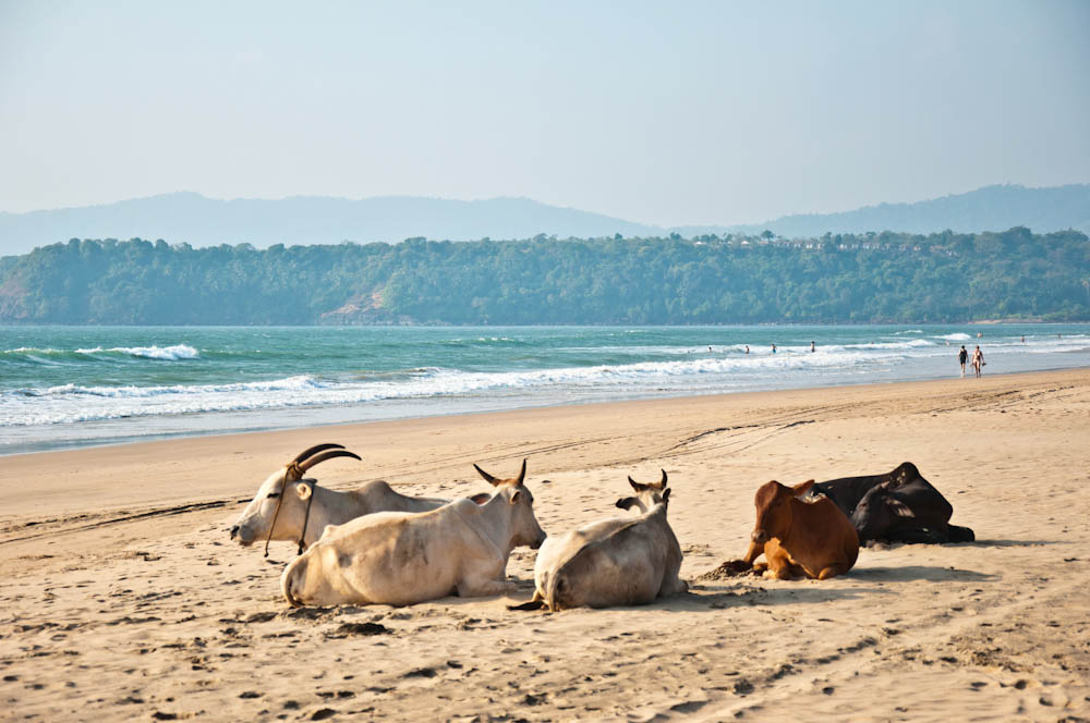 I'm sure many wouldn't mind being a cow at Agonda..