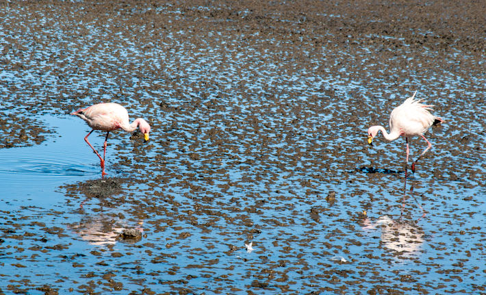 Bolivian flamingos fishing mini prawns