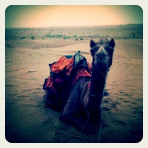 A camel in the Thar Desert