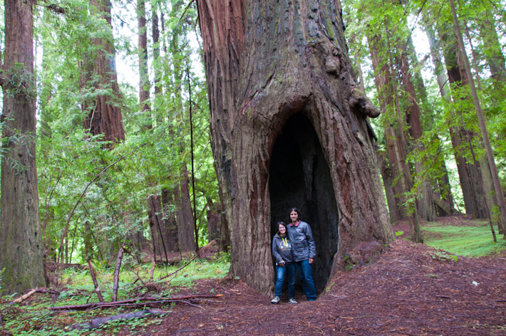 Inside a massive tree trunk in the Avenue of Giants